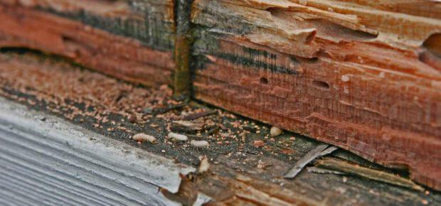 rayap makan kayu